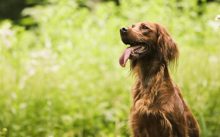irish setter-Animal photography wallpaper Views:6172