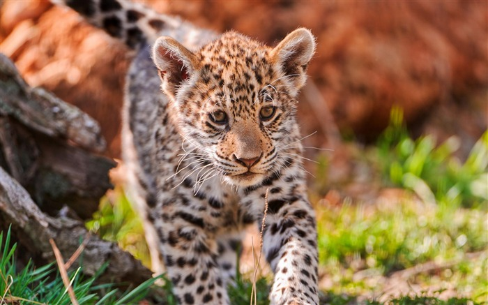 jaguar baby-Animal photography wallpaper Views:18528
