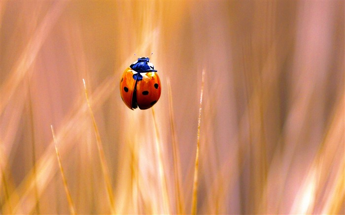 ladybug-Animal photography wallpaper Views:4472