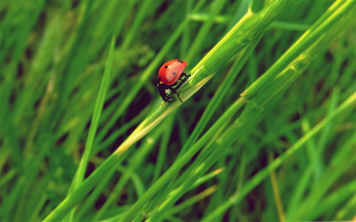 ladybug grass macro-all kinds of insects wallpaper Views:3476