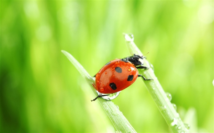 ladybug macro-all kinds of insects wallpaper Views:5460