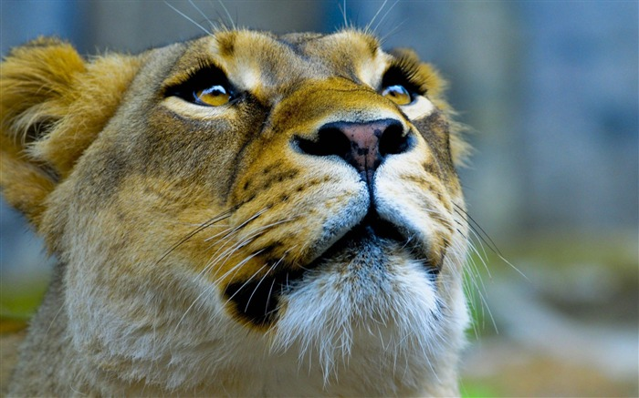 lioness-Animal photography wallpaper Views:5079