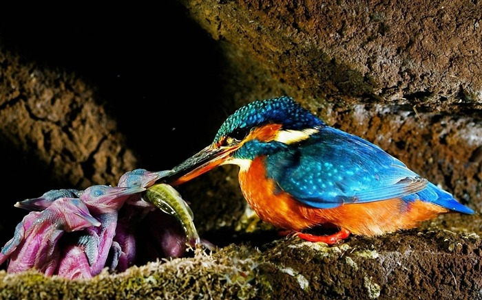 malachite kingfisher-Bird photography wallpaper Views:6846
