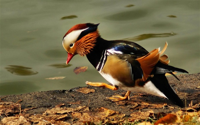 mandarin duck -Bird photography wallpaper Views:6145
