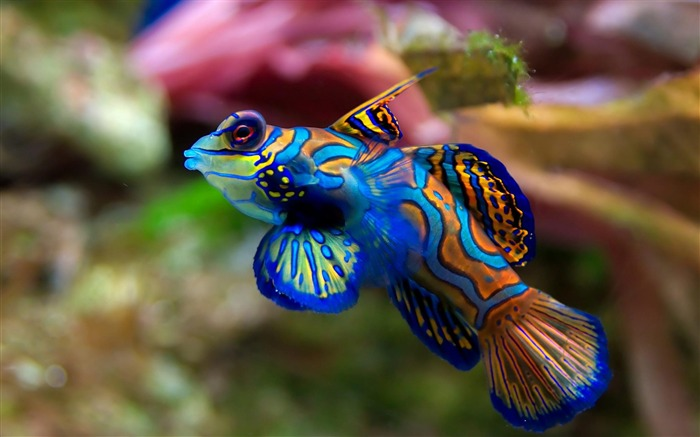 mandarin fish-Animal photography wallpaper Views:6053