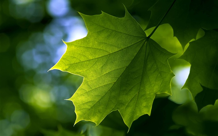 maple leaf-Plants photography HD wallpaper Views:6148