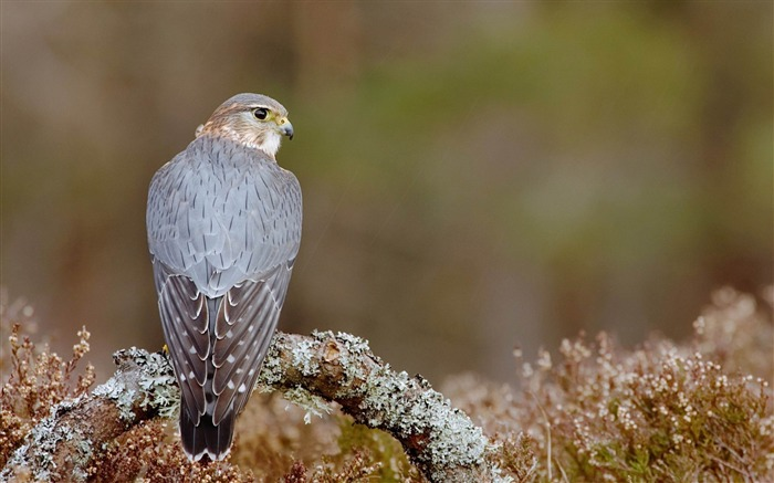 merlin-Bird photography wallpaper Views:4821
