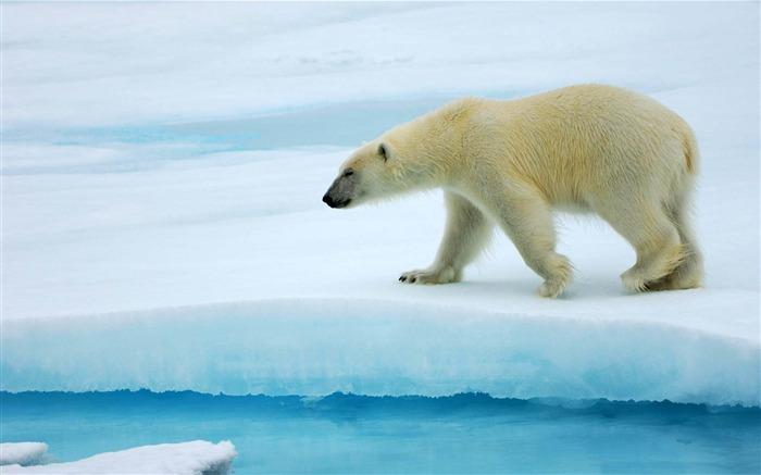 北极熊-野生动物高清壁纸