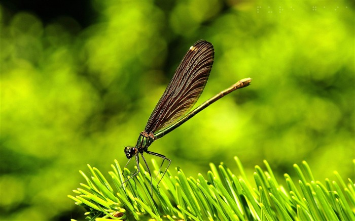 pretty dragonfly-all kinds of insects wallpaper Views:4247