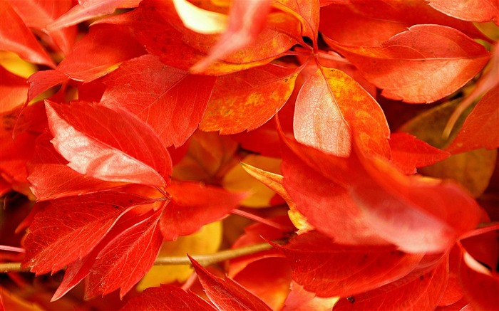 red leaves-Microsoft Windows 8 system wallpaper Views:5024
