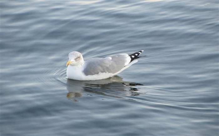 seagull white-Bird photography wallpaper Views:4559