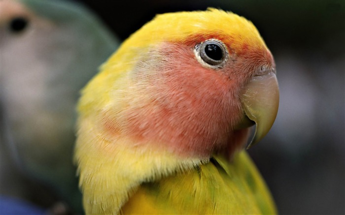 sun parakeet-Bird photography wallpaper Views:4586
