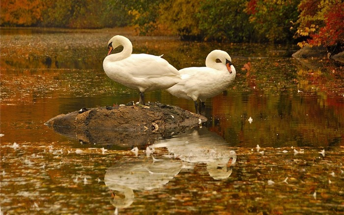 swans-Bird photography wallpaper Views:4240