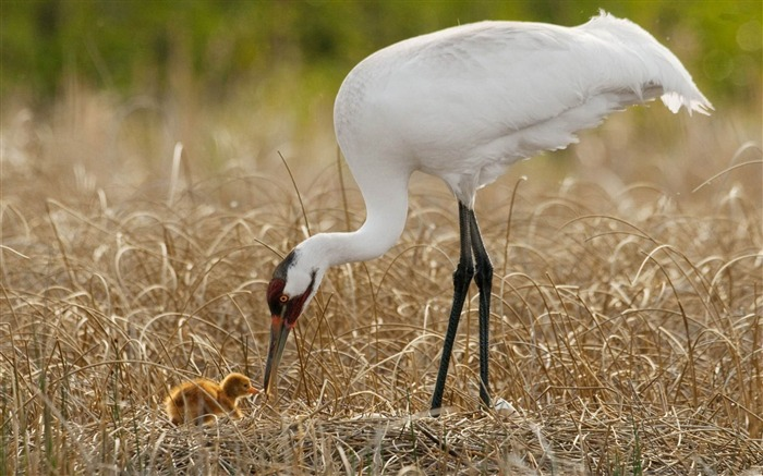 whooping crane-Bird photography wallpaper Views:14127