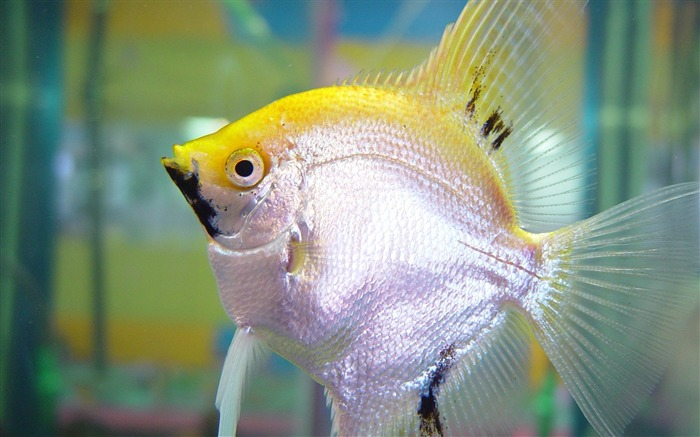 yellow and silver fish-Animal photography wallpaper Views:4126