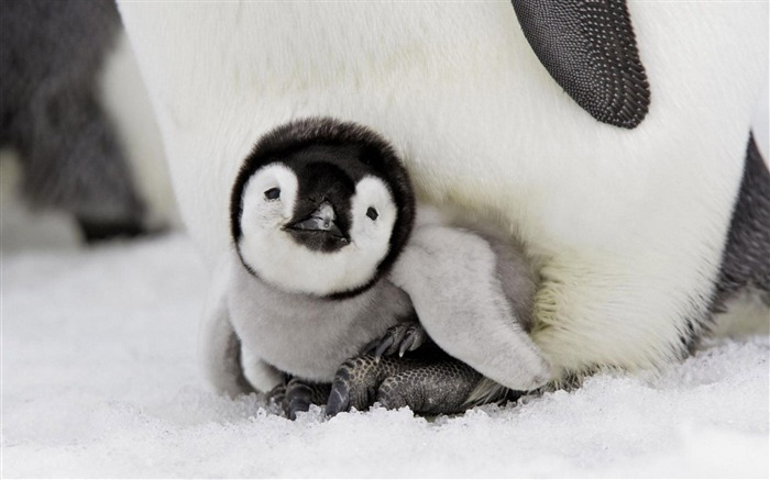 Baby Penguin-Animal photography wallpaper Views:12110