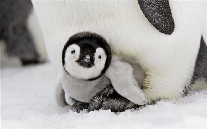 小企鹅-动物摄影壁纸 预览