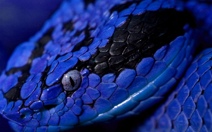 Blue Snake-Animal photography wallpaper Views:15630
