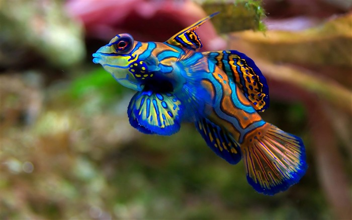 Title:Bule mandarin fish-Animal photography wallpaper Views:12448