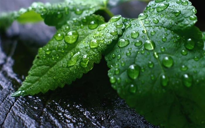 Droplets Green Leaves-natural plant wallpaper Views:4610
