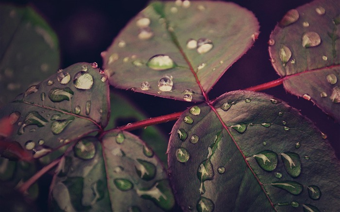 Droplets Leaves-natural plant wallpaper Views:5332