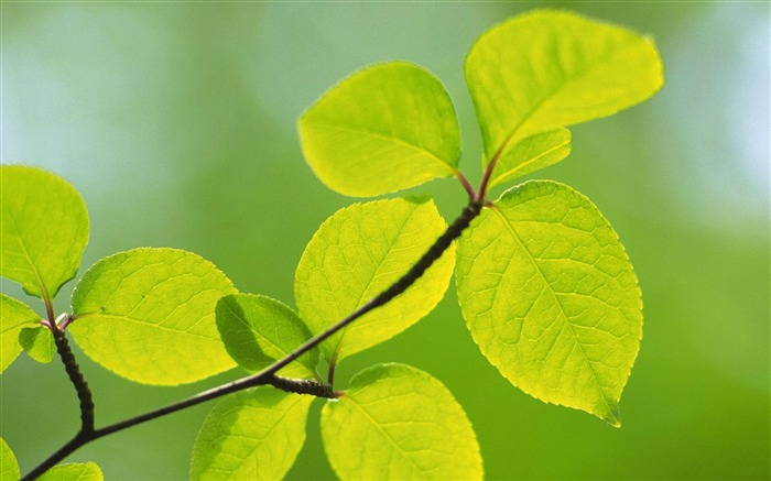 Green Leaves-natural plant wallpaper Views:5347