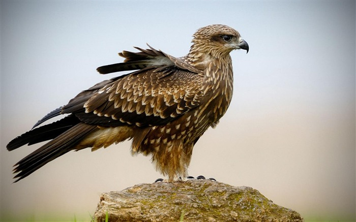 Hawk-Animal photography wallpaper Views:8170