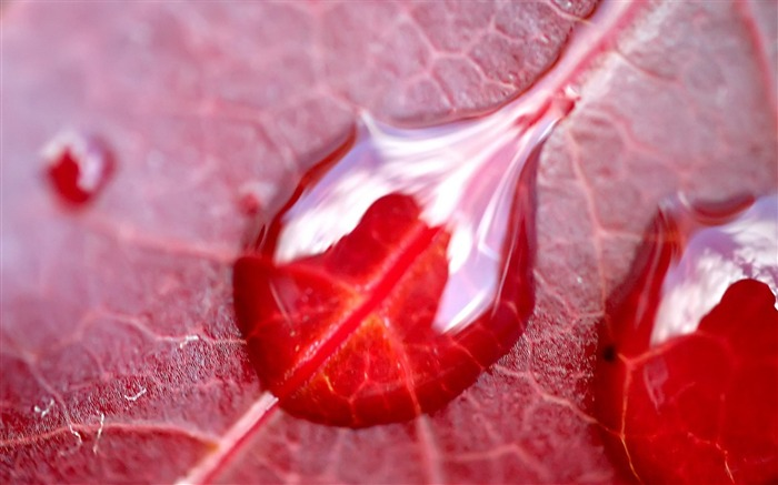 Red leaf Dew-natural plant wallpaper Views:5277