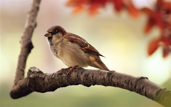 Sparrow-Animal photography wallpaper Views:4691
