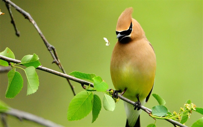 Waxwing-Animal photography wallpaper Views:4692