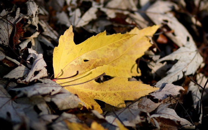 Yellow Leaf Leaves-natural plant wallpaper Views:4033