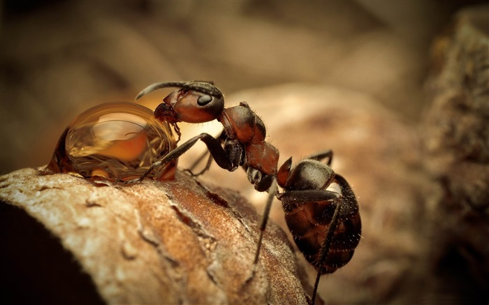 ant drinking water-Animal photography wallpaper Views:7900