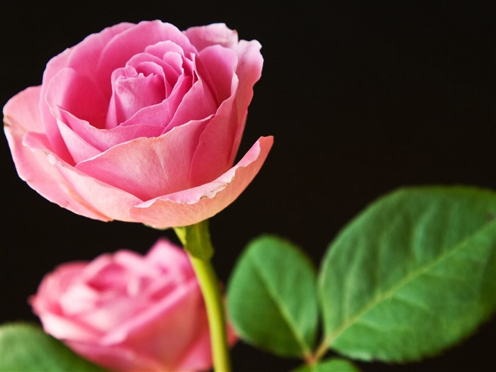best pink roses-Flowers macro photography wallpaper Views:6386