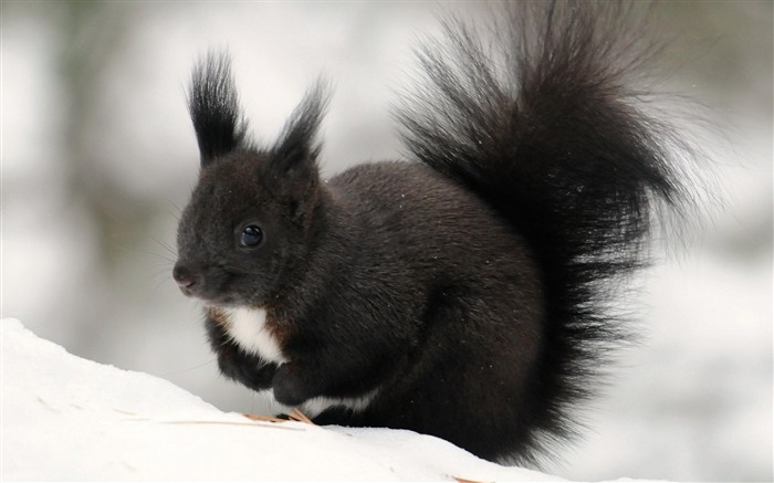 black squirrel-Animal photography wallpaper Views:7636