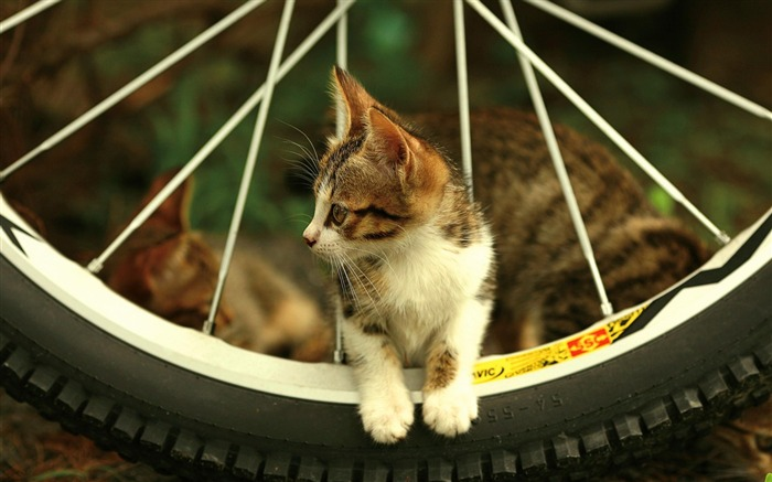 cat bicycle-Animal photography wallpaper Views:7730