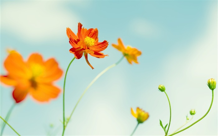 cosmos-Flowers macro photography wallpaper Views:5192