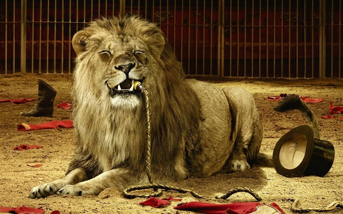 cruel lion-Animal photography wallpaper Views:11537