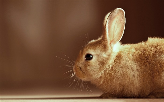 cute rabbit-Animal photography wallpaper Views:5284