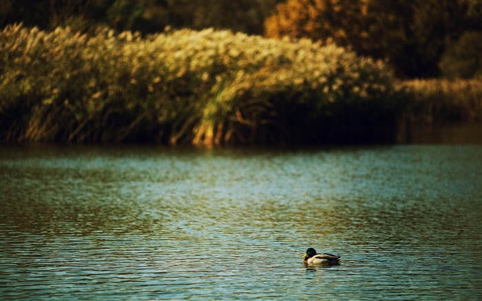 duck on a lake-Animal photography wallpaper Views:4540