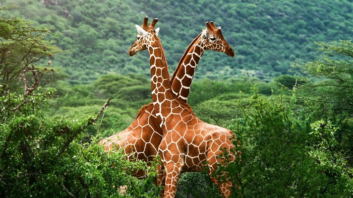 giraffe-Animal photography wallpaper Views:8626