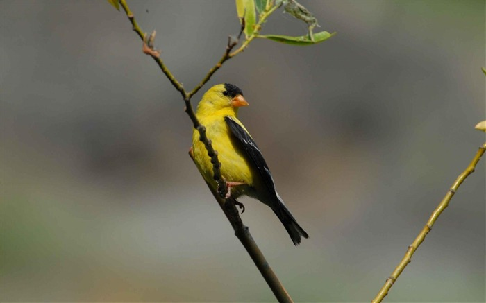 goldfinch perches-Animal photography wallpaper Views:5840