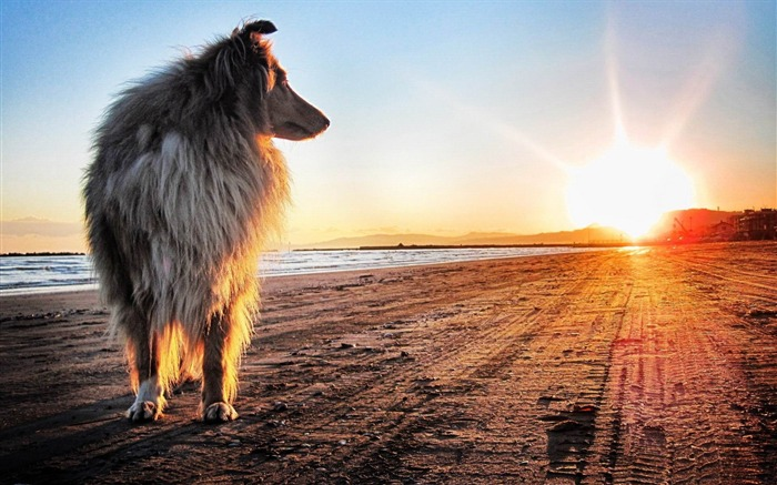 lassie dog-Animal photography wallpaper Views:4551