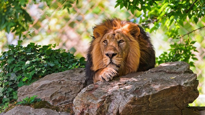 lion-Animal photography wallpaper Views:5098
