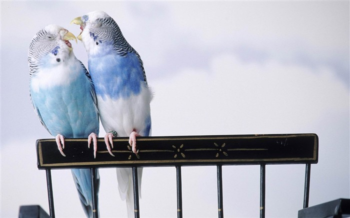 love birds-Animal photography wallpaper Views:4643