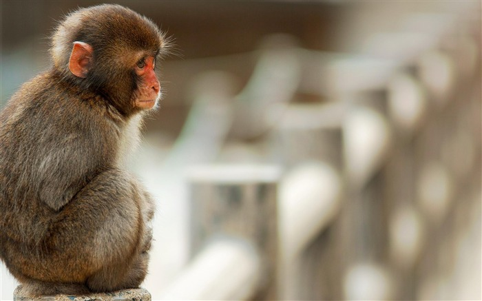 macaque monkey-Animal photography wallpaper Views:5361