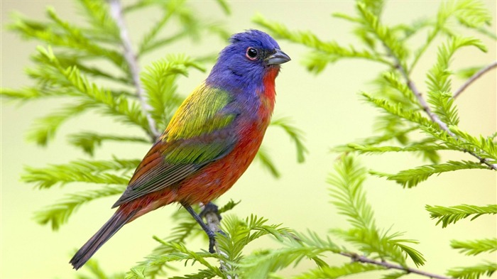 painted bunting-Bird Photography Wallpaper Views:4492
