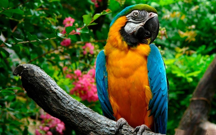 parrots-Animal photography wallpaper Views:4979