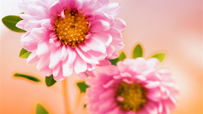 pink floral-Flowers macro photography wallpaper Views:4289