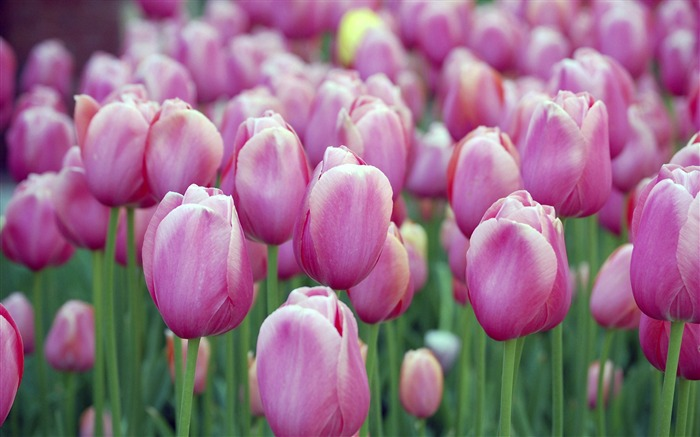 pink tulips-Flowers macro photography wallpaper Views:4320