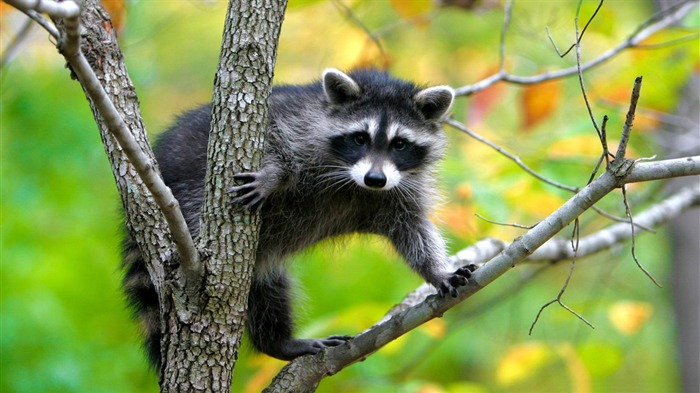 raccoon in a tree-Animal photography wallpaper Views:4102